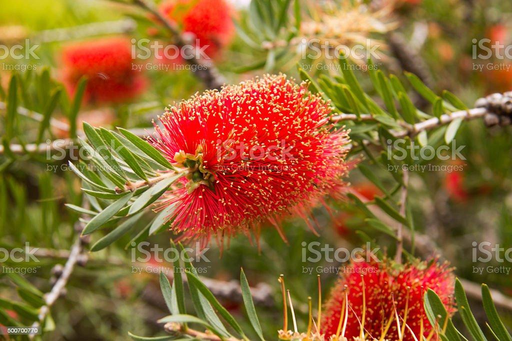 Australia's national flower stock photo