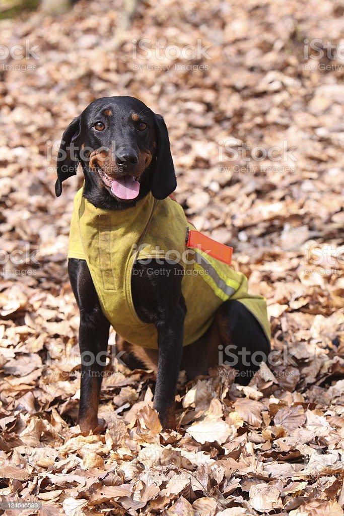Austrian Black and Tan Hound dog stock photo