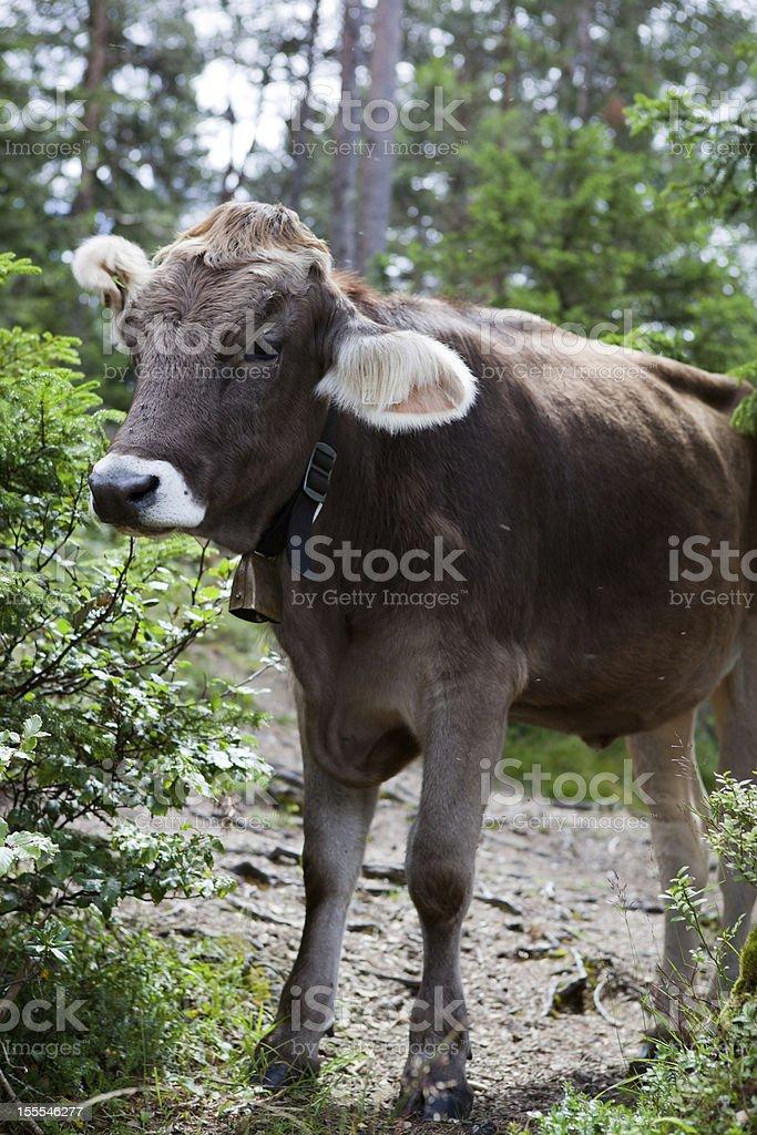オーストリアン牛 ロイヤリティフリーストックフォト