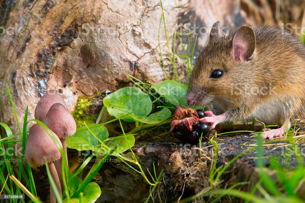 autemn scene mouse eating raspberry stock photo