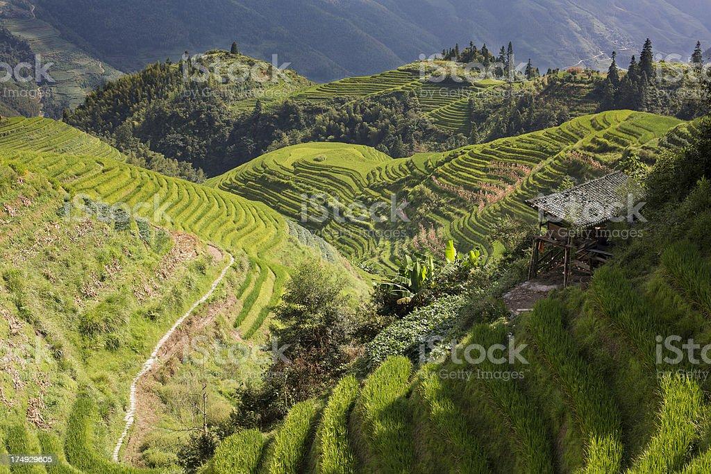 Authentic Asian Terrace Farm royalty-free stock photo