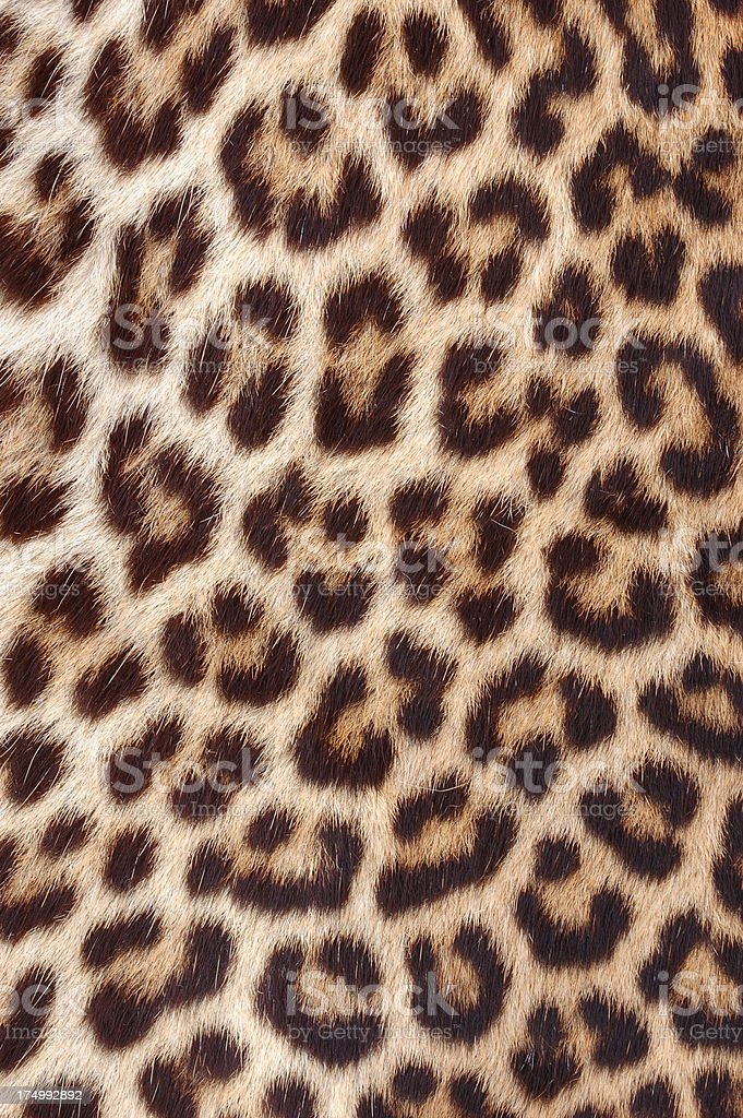 Authentic Leopard Skin/Hide Close-up stock photo