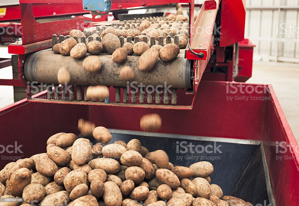 Automated Potato Processing royalty-free stock photo
