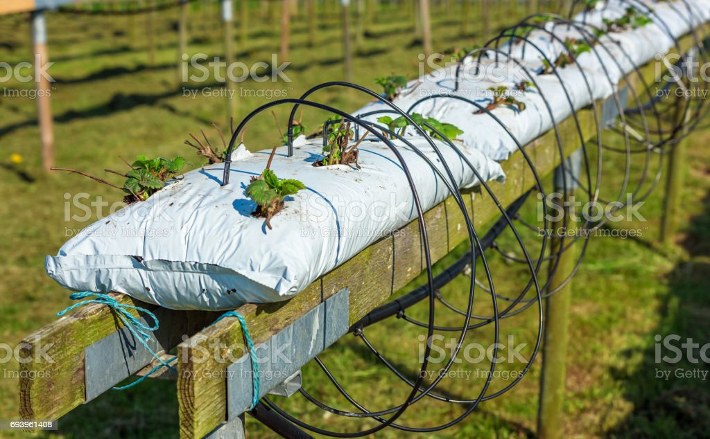 Automated strawberry watering system stock photo