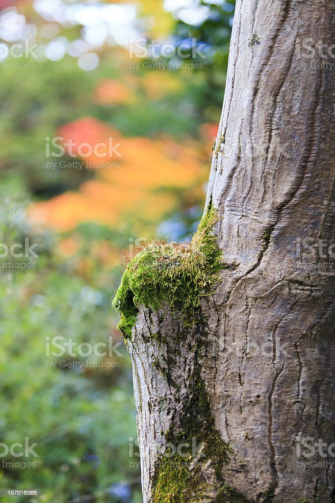 autum tree with mos royalty-free stock photo