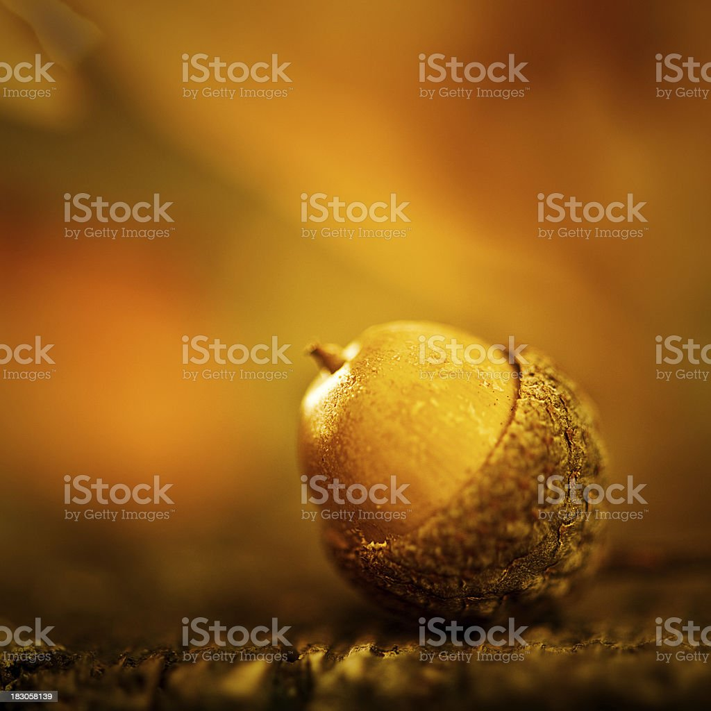 Autumn acorn macro royalty-free stock photo