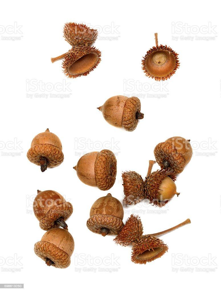 Autumn acorns on white stock photo