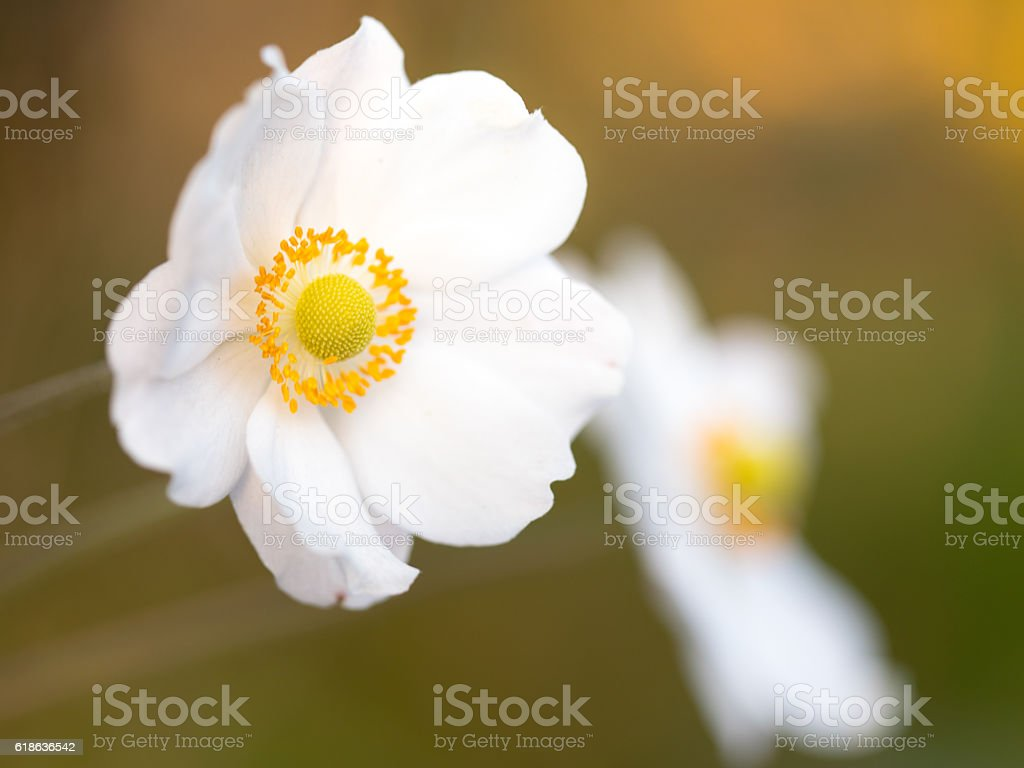 Autumn afternoon with Japanese Anemone stock photo