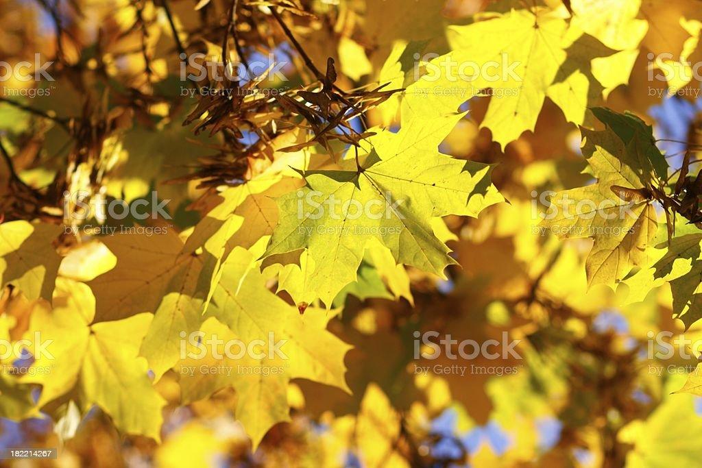 Autumn ahorn leaves in sunshine stock photo
