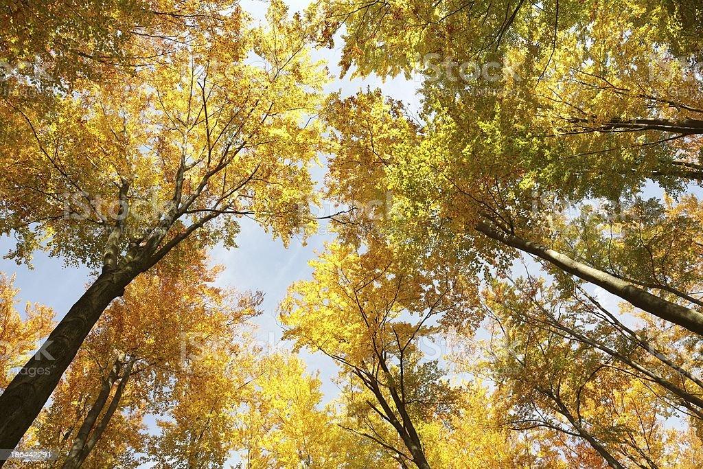 Autumn alder trees royalty-free stock photo