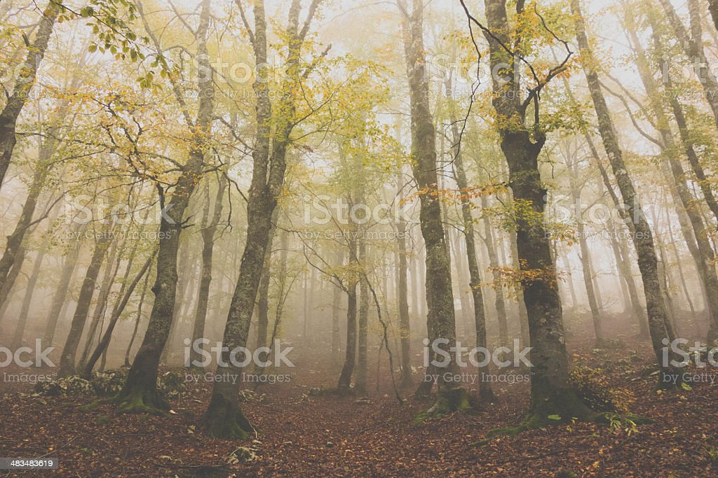 Autumn and Forest  in the Fog stock photo