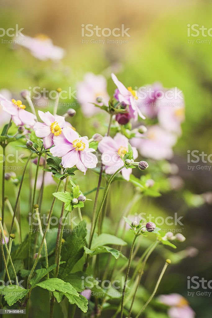 Autumn Anemone royalty-free stock photo