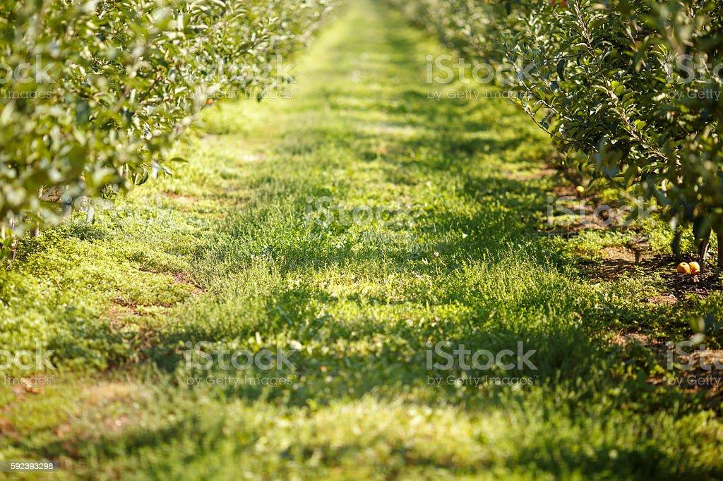 Autumn apple orchard background royalty-free stock photo