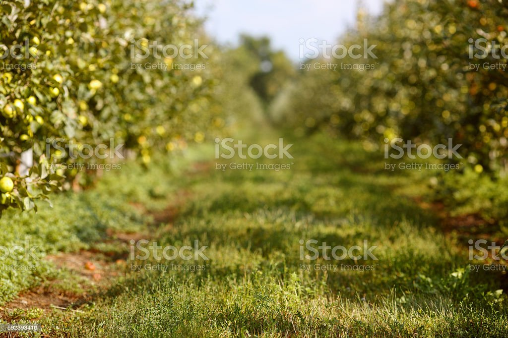 Autumn apple orchard background royalty-free stock photo