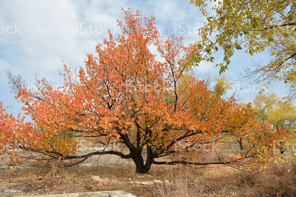 autumn. apricot tree royalty-free stock photo