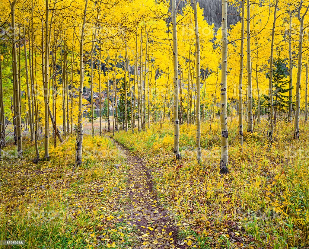 Autumn aspen forest in the Rocky Mountains,Colorado stock photo