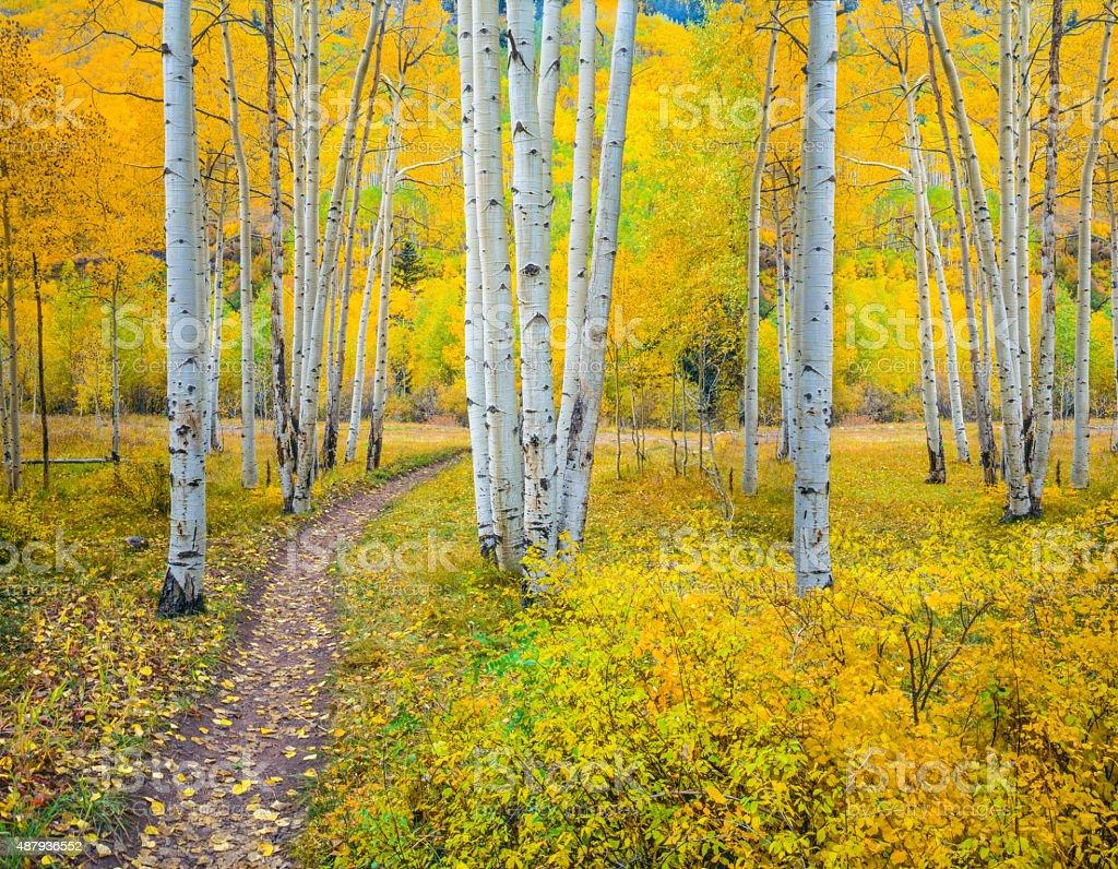 Autumn aspen forest in the Rocky Mountains,Colorado (P) stock photo