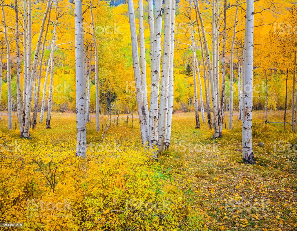 Autumn aspen forest in the Rocky Mountains,Colorado (P) stock photo