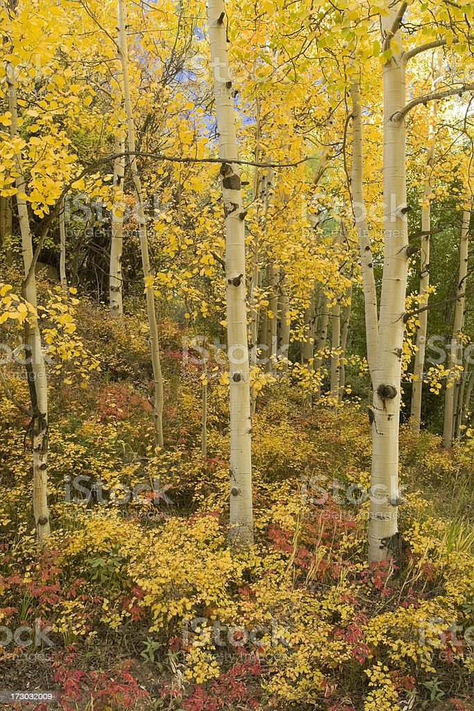 Autumn Aspen Forest royalty-free stock photo