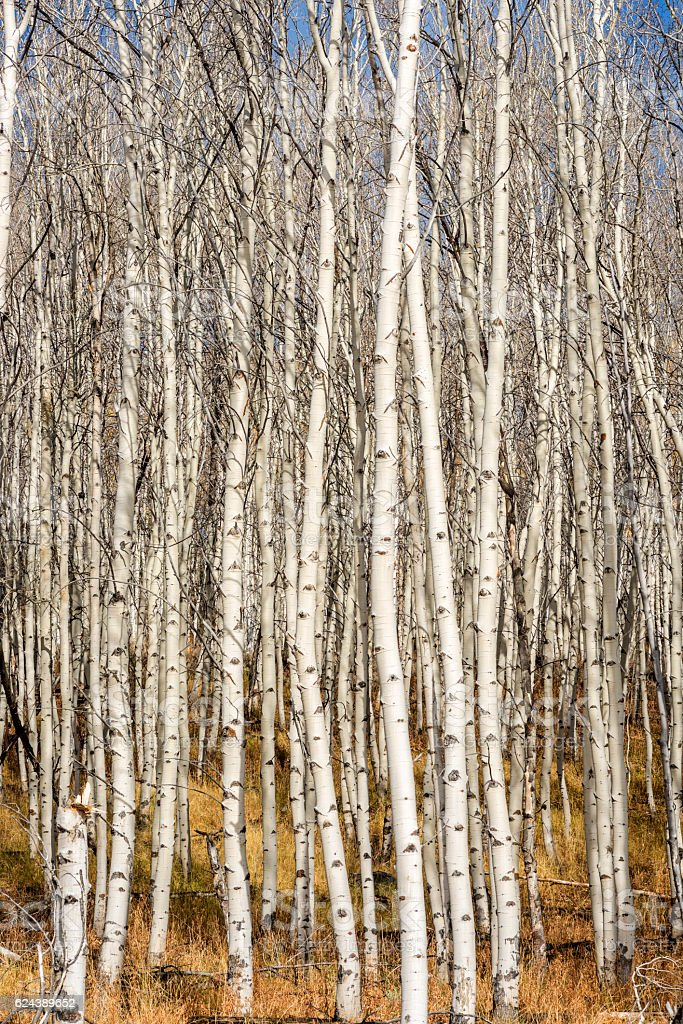 Autumn Aspen forest with white bark and blue sky stock photo