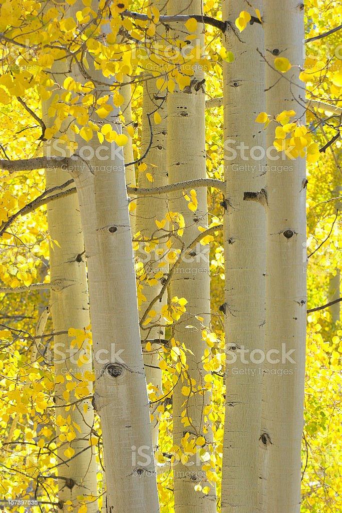 Autumn Aspen Trees royalty-free stock photo