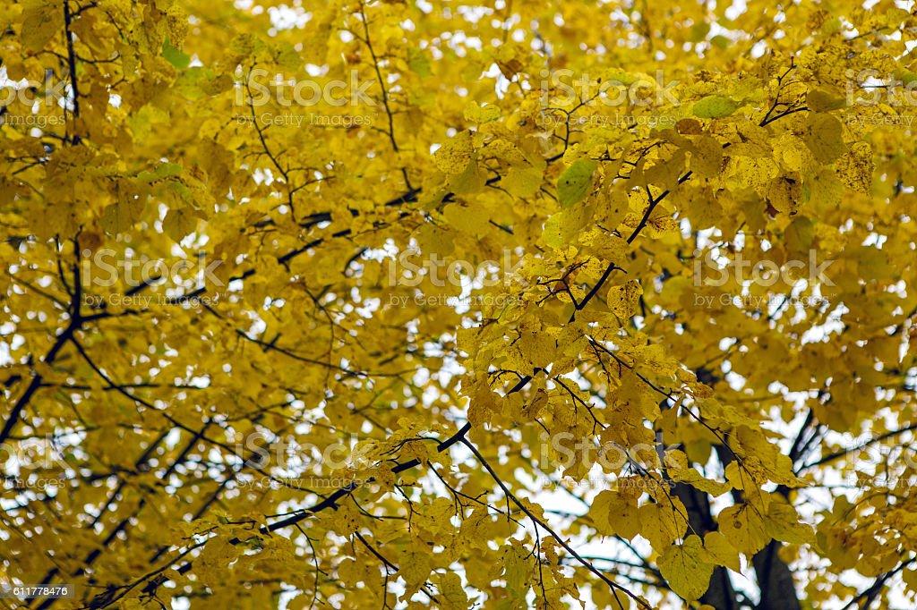 autumn aspen trees stock photo