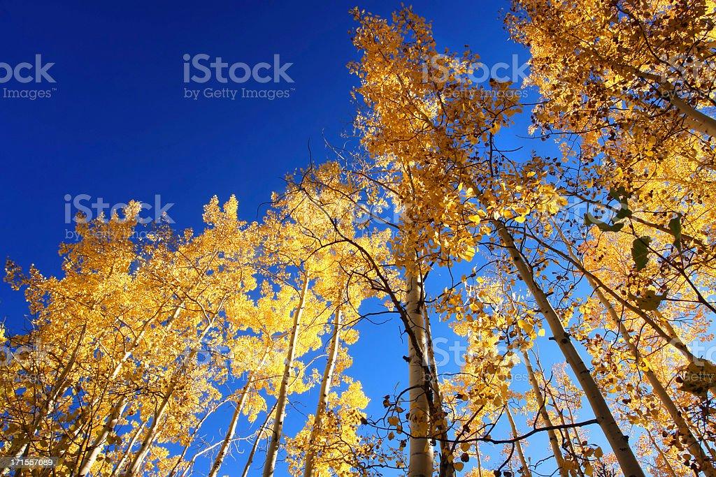 autumn aspens royalty-free stock photo