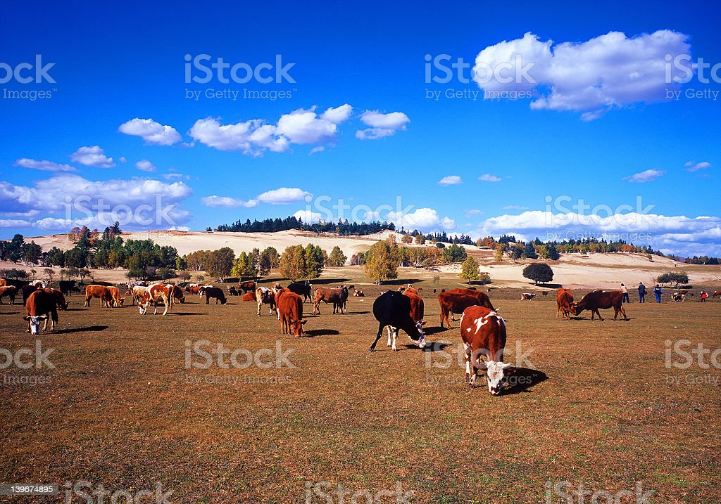Autumn at Bashang royalty-free stock photo