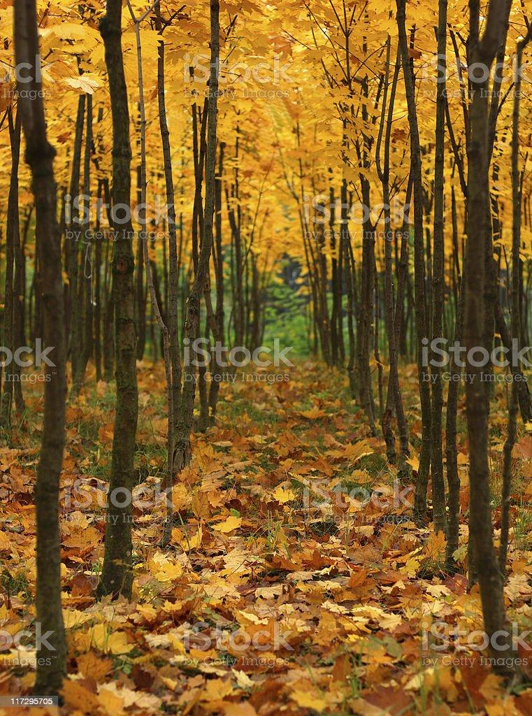 Autumn Avenue royalty-free stock photo