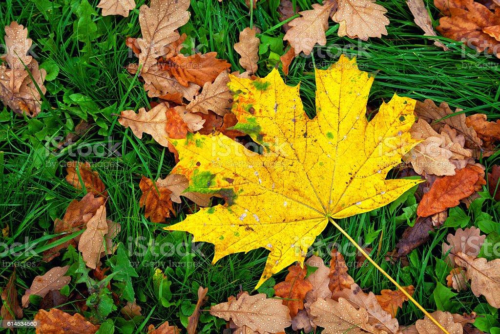 autumn background - maple leaf, oak leaves stock photo