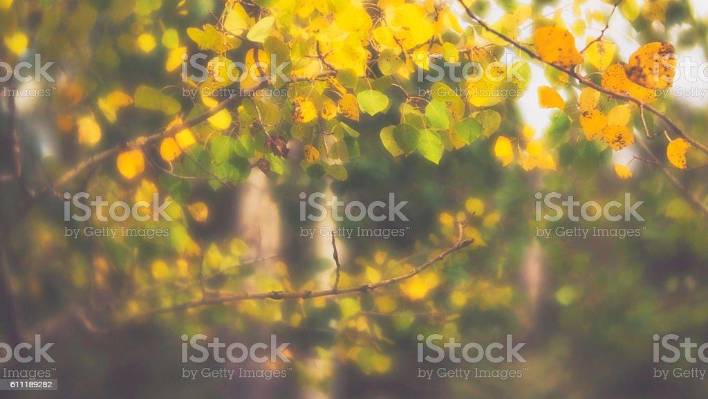 Autumn background of defocused Aspen trees stock photo