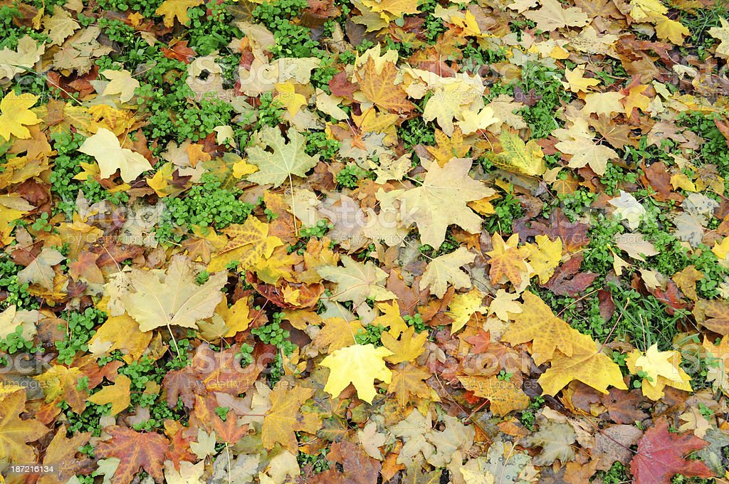 Autumn background of maple leaves royalty-free stock photo