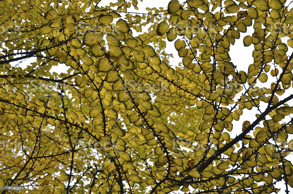 Autumn background of the ginkgo branches stock photo