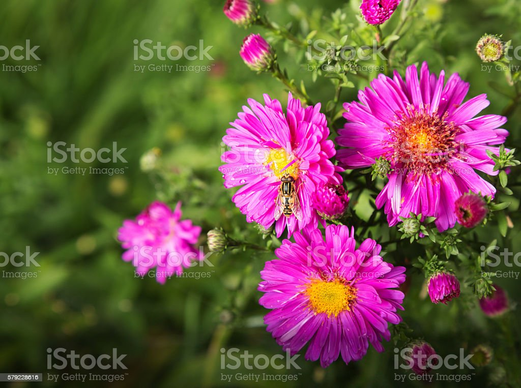 Autumn background with alpine aster stock photo