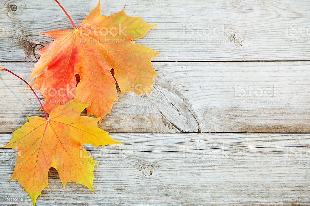Autumn background with colored maple leaves on old wooden board stock photo