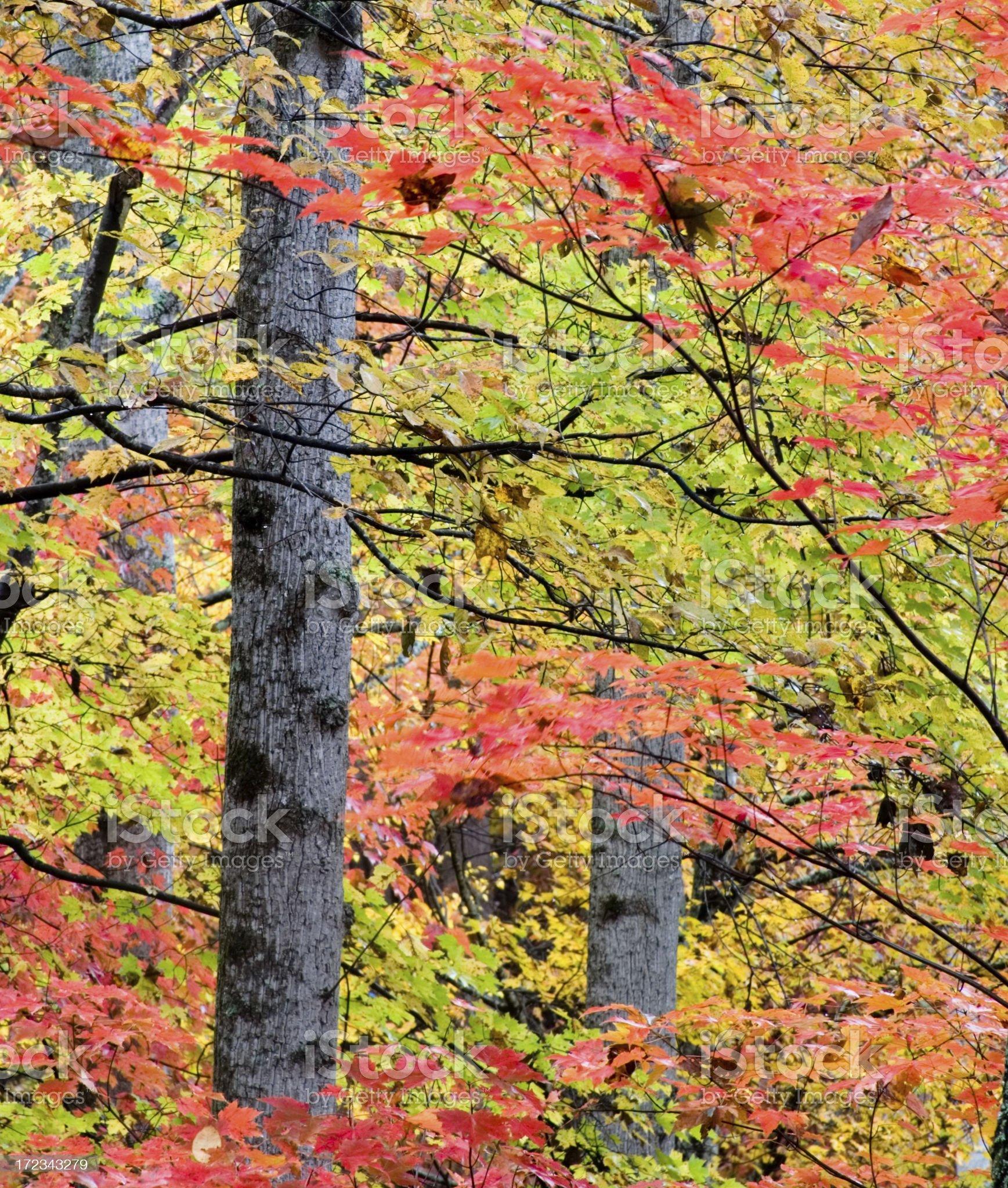 Autumn Beauty royalty-free stock photo