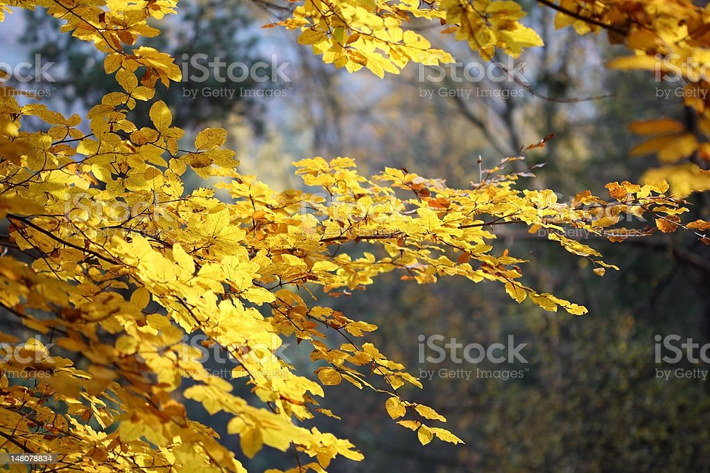 Autumn beech background royalty-free stock photo