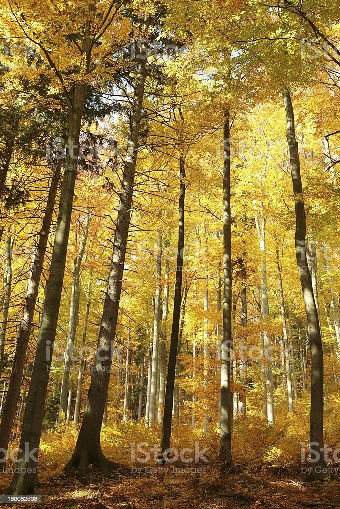 Autumn beech forest in golden colors royalty-free stock photo