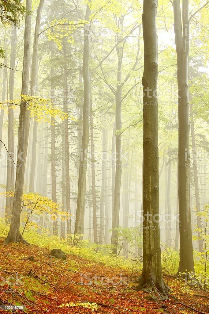 Autumn beech forest in the fog royalty-free stock photo