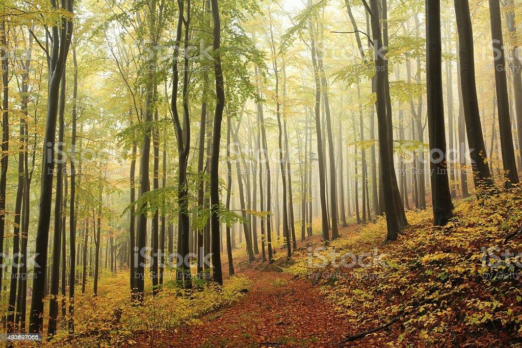 Autumn beech forest stock photo