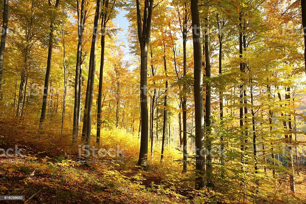 Autumn beech forest stock photo
