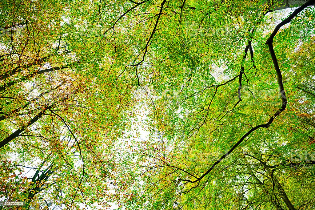 autumn beech forest treetop background stock photo