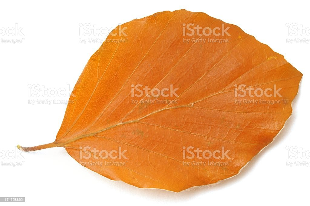 Autumn beech leaf stock photo