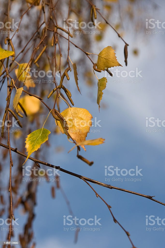autumn beech leaves royalty-free stock photo