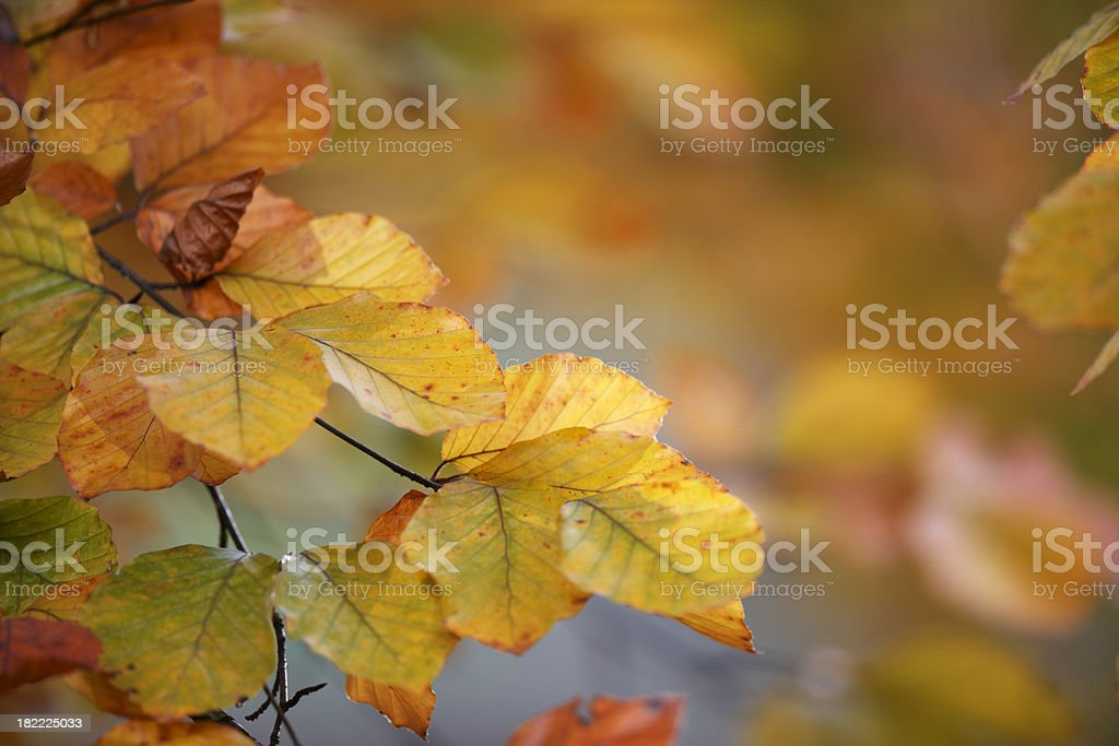 Autumn Beech Leaves. royalty-free stock photo