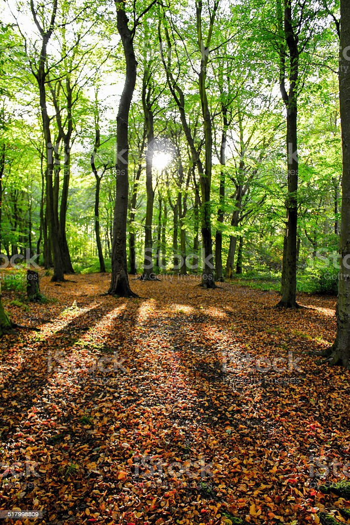 Autumn Beech Woodland royalty-free stock photo