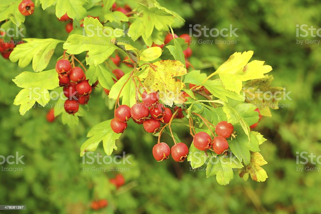Autumn - berries of red hawthorn royalty-free stock photo