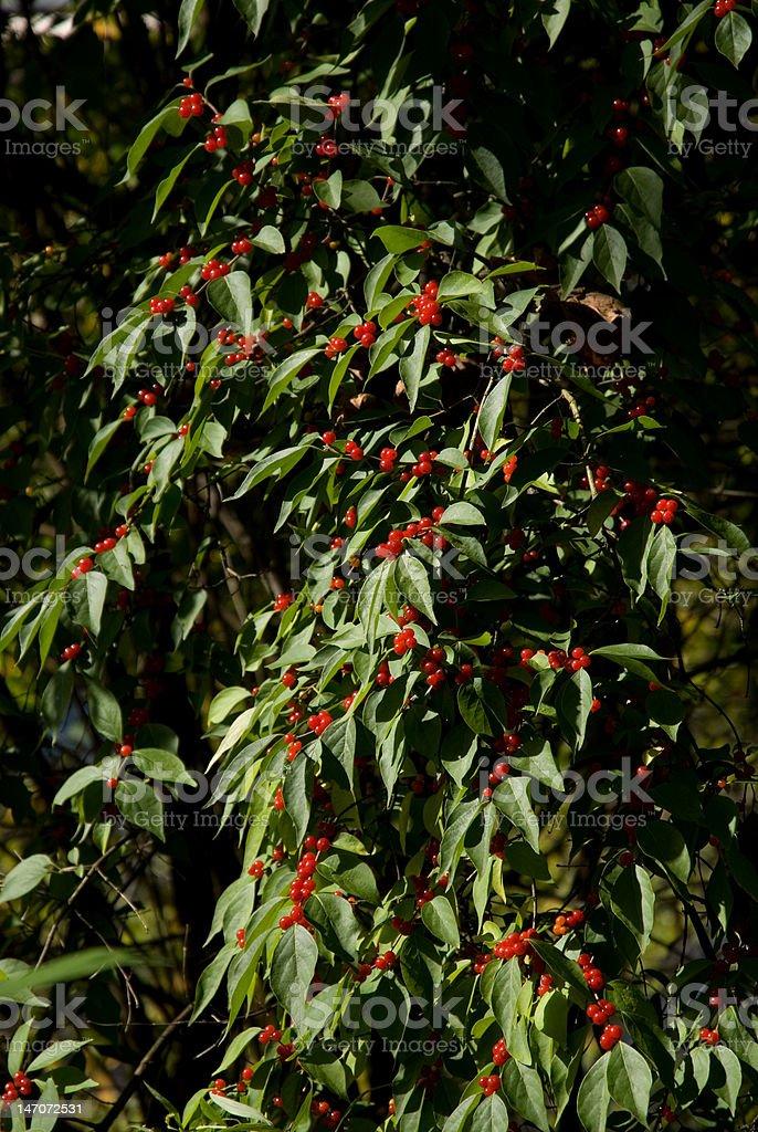 Outono Berry Bush foto royalty-free