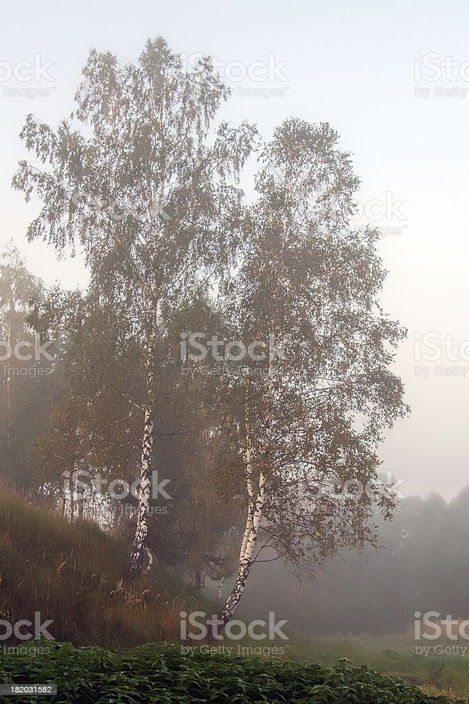 Autumn birch, fog royalty-free stock photo