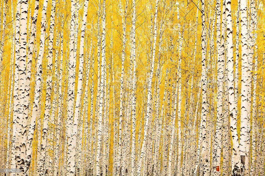 Autumn birch forest royalty-free stock photo